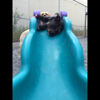 "Locked and loaded. Gracie Walters informs us that the Indy torpedo (aka Indy James) is ready to launch. #dogtiredak #sillydogs #happydogs #dogsonslides #bestjobever • <a style=""font-size:0.8em;"" href=""http://www.flickr.com/photos/98807890@N02/19399794120/"" target=""_blank"">View on Flickr</a>"