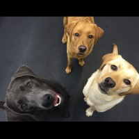 "Three little labs in school today. The pups of Shadow's Station. #dogtiredak #dogsofinstagram • <a style=""font-size:0.8em;"" href=""http://www.flickr.com/photos/98807890@N02/18689897511/"" target=""_blank"">View on Flickr</a>"