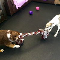 "Eight more paws up for the new giant rope toys. Chevy and Elim Van Muijen play a serious game of tug-o-war. #awesomeropetoy #dogtiredak #happydogs • <a style=""font-size:0.8em;"" href=""http://www.flickr.com/photos/98807890@N02/18606622972/"" target=""_blank"">View on Flickr</a>"