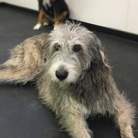 "We are so happy to have our friend Zoe Dover back in school today. Love our giant breeds. #dogtiredak #happydog #irishwolfhound • <a style=""font-size:0.8em;"" href=""http://www.flickr.com/photos/98807890@N02/29654029583/"" target=""_blank"">View on Flickr</a>"