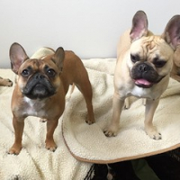 "Lumi Schnell and Murphy Piper-Sontag strike a pose. #frenchiesrule #squishyfacecrew #iamlumi • <a style=""font-size:0.8em;"" href=""http://www.flickr.com/photos/98807890@N02/17060894075/"" target=""_blank"">View on Flickr</a>"