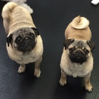 "Bring your little sister to school day. Ellie and Luna Stephenson's pug mugs. #dogsofinstagram #dogtired #dogtiredak #dogsrule #squishyfacecrew • <a style=""font-size:0.8em;"" href=""http://www.flickr.com/photos/98807890@N02/16573946407/"" target=""_blank"">View on Flickr</a>"