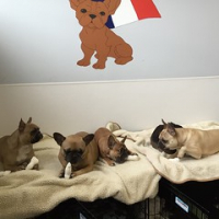 "Four fawn Frenchie friends. Chums Christy, Little Bear Dutton, Lumi Schnell and Murphy Piper-Sontag. #frenchiesrule #squishyfacecrew #iamlumi #dogtiredak • <a style=""font-size:0.8em;"" href=""http://www.flickr.com/photos/98807890@N02/16874683819/"" target=""_blank"">View on Flickr</a>"